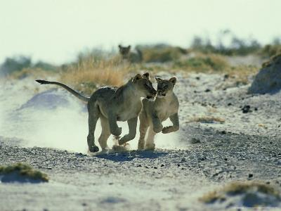 African Lion, Running, Namibia-Richard Packwood-Photographic Print