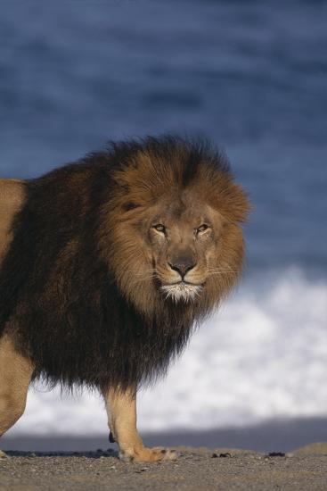 African Lion Standing on Beach-DLILLC-Photographic Print
