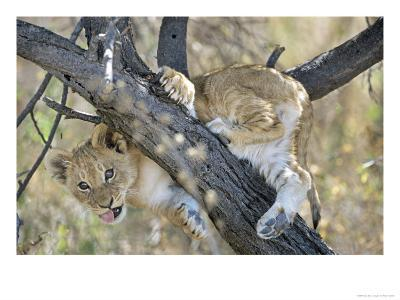 African Lion, Young Cub Climbing Tree, Southern Africa-Mark Hamblin-Photographic Print