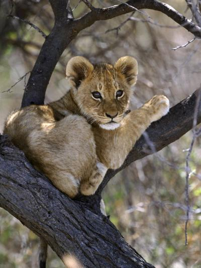 African Lion, Young Cub in Tree, Southern Africa-Mark Hamblin-Photographic Print