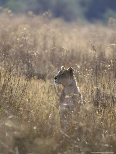 African Lion, Young Male, Southern Africa-Mark Hamblin-Photographic Print