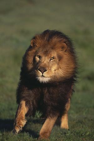 https://imgc.artprintimages.com/img/print/african-lion_u-l-pzr40h0.jpg?p=0
