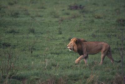 https://imgc.artprintimages.com/img/print/african-lion_u-l-pzr54m0.jpg?p=0