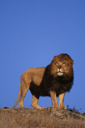 https://imgc.artprintimages.com/img/print/african-lion_u-l-pzr66x0.jpg?p=0