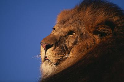 African Lion-DLILLC-Photographic Print