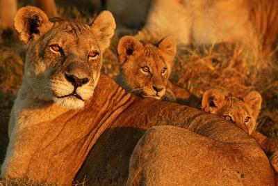 African Lioness, Panthera Leo, and Her Cubs Resting-Beverly Joubert-Photographic Print