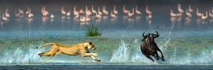 African Lioness (Panthera Leo) Hunting Wildebeests