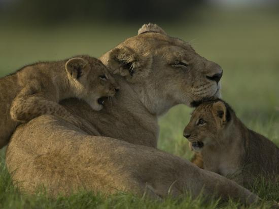 African Lioness, Panthera Leo, Resting with Cubs-Beverly Joubert-Photographic Print