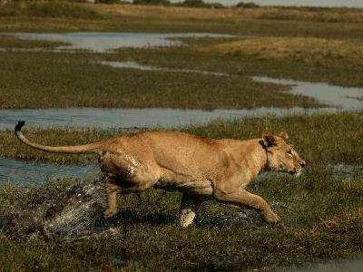 African Lioness, Panthera Leo, Running Through Flooded Grassland, Okavango Delta, Botswana-Beverly Joubert-Photographic Print