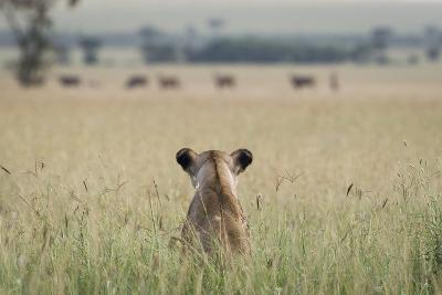African Lioness (Panthera Leo) Sitting Patiently in the Long Grass-Cheryl-Samantha Owen-Photographic Print