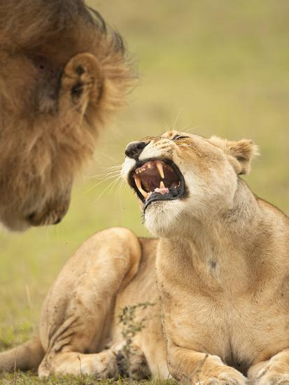 African Lioness Panthera Leo Snarling At Male Lion In The Masai