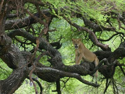African Lioness Rests on Tree Branch, Tanzania-Arthur Morris-Photographic Print
