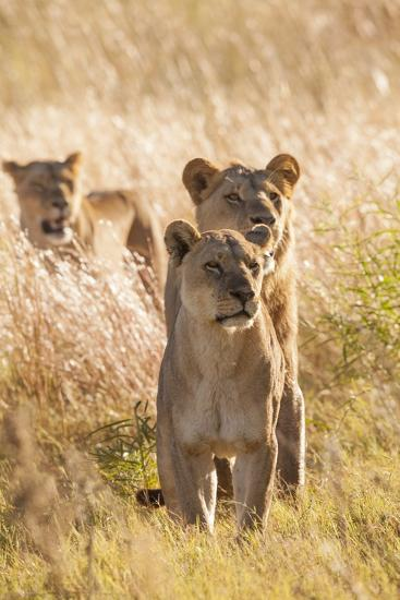 African Lionesses-Michele Westmorland-Photographic Print