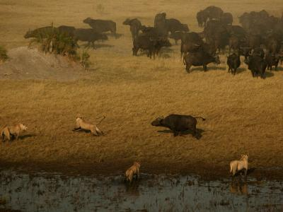 African Lions Hunting a Herd of African Buffalo-Beverly Joubert-Photographic Print