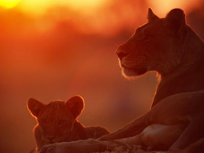 African Lions (Panthera Leo), Female and Cub at Twilight, with the Lioness Looking for Prey-Beverly Joubert-Photographic Print