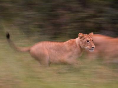 African Lions, Panthera Leo, Running Through Grass-Roy Toft-Photographic Print