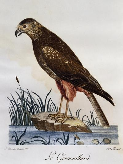 African Marsh Harrier (Circus Ranivorus)--Giclee Print