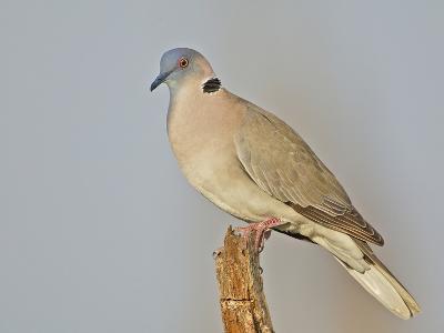 African Morning Dove, Streptopelia Decipiens, Africa-Arthur Morris-Photographic Print