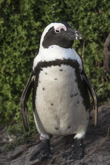 African Penguin, Bettys Bay, Western Cape, South Africa-Pete Oxford-Photographic Print
