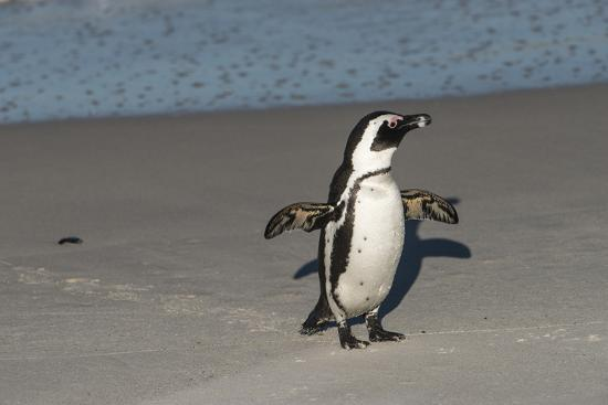 African Penguin Returning to Colony. Western Cape, South Africa-Pete Oxford-Photographic Print