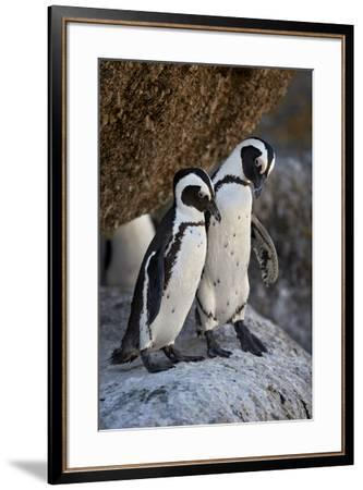 African Penguin (Spheniscus demersus) pair, Simon's Town, near Cape Town, South Africa, Africa-James Hager-Framed Photographic Print