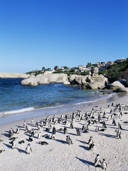 African Penguins at Boulder Beach in Simon's Town, Near Cape Town, South Africa, Africa-Yadid Levy-Photographic Print