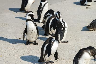 African Penguins at Simonstown (South Africa)-HandmadePictures-Photographic Print