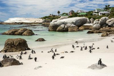 African Penguins on Sand at Foxy Beach with Residential Homes in Background-Kimberly Walker-Photographic Print