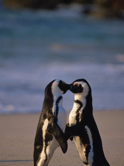 African Penguins Showing Affection-Stuart Westmorland-Photographic Print