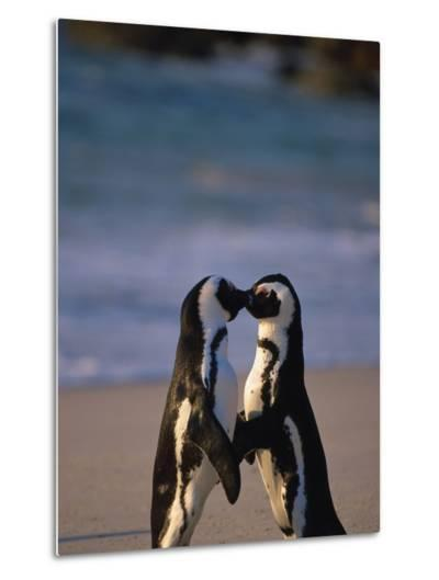 African Penguins Showing Affection-Stuart Westmorland-Metal Print