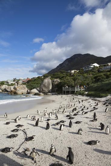 African Penguins (Spheniscus Demersus) on Foxy Beach, Simon's Town, Cape Town-Ann & Steve Toon-Photographic Print