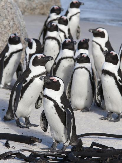 African Penguins (Spheniscus Demersus), Table Mountain National Park, Cape Town, South Africa-Ann & Steve Toon-Photographic Print