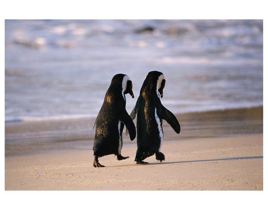 African Penguins--Premium Giclee Print