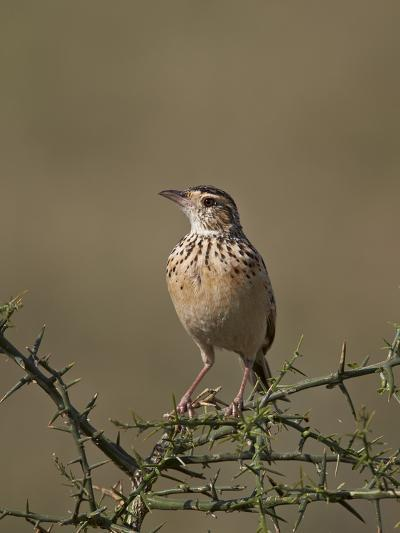 African Pipit (Grassland Pipit) (Grassveld Pipit) (Anthus Cinnamomeus)-James Hager-Photographic Print