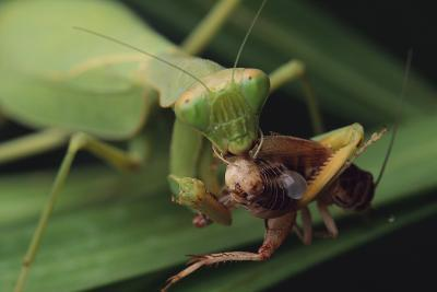 African Praying Mantis Eating a Bug-DLILLC-Photographic Print