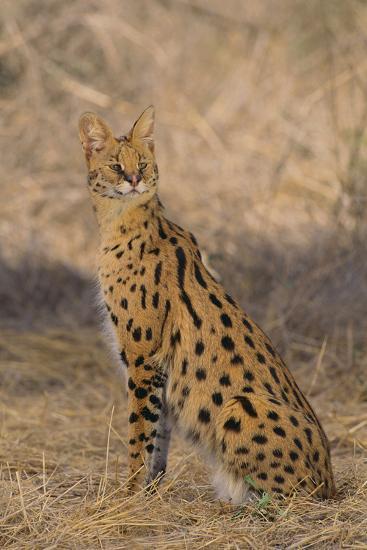 African Serval-DLILLC-Photographic Print