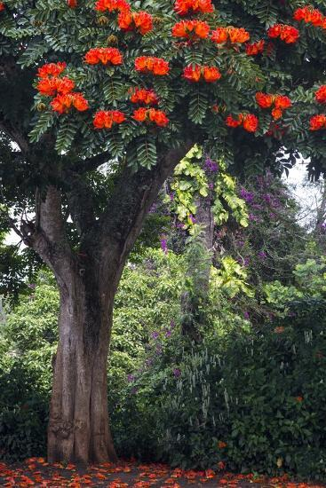 African Tulip Tree Growing on Oahu Island-Terry Eggers-Photographic Print