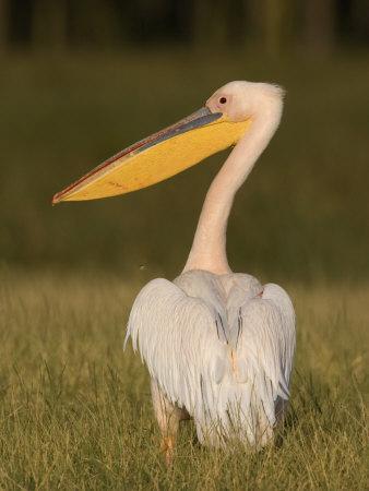 African White Pelican, Pelecanus Onocrotalus, Nakuru National Park, Kenya, Africa-Arthur Morris-Photographic Print
