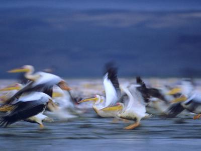 African White Pelicans, Lake Nakuru, Kenya-Tim Fitzharris-Photographic Print