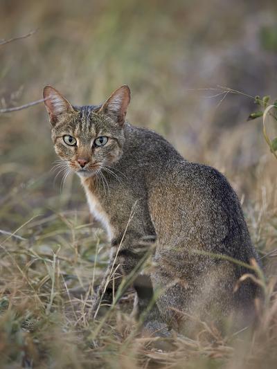 African Wild Cat (Felis Silvestris Lybica), Kruger National Park, South Africa, Africa-James Hager-Photographic Print
