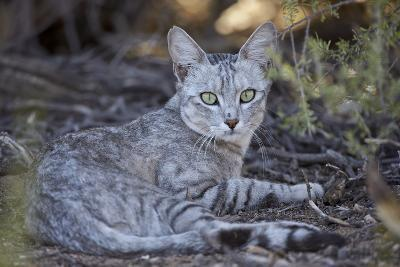 African Wild Cat (Felis Silvestris Lybica)-James Hager-Photographic Print
