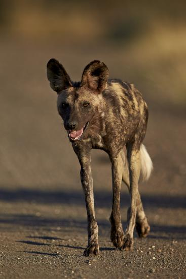 African Wild Dog (African Hunting Dog) (Cape Hunting Dog) (Lycaon Pictus) Running, Africa-James Hager-Photographic Print