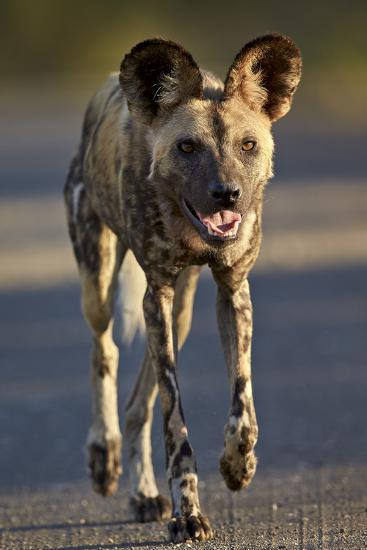 African Wild Dog (African Hunting Dog) (Cape Hunting Dog) (Lycaon Pictus) Running-James Hager-Photographic Print