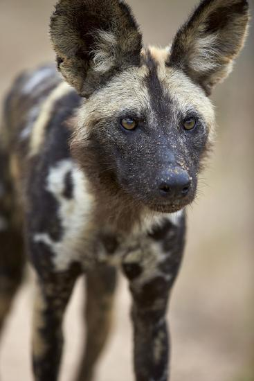 African Wild Dog (African Hunting Dog) (Cape Hunting Dog) (Lycaon Pictus)-James Hager-Photographic Print