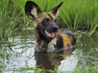 African Wild Dog Cooling Off in Water, Lycaon Pictus, Okavango Delta, Botswana-Frans Lanting-Photographic Print