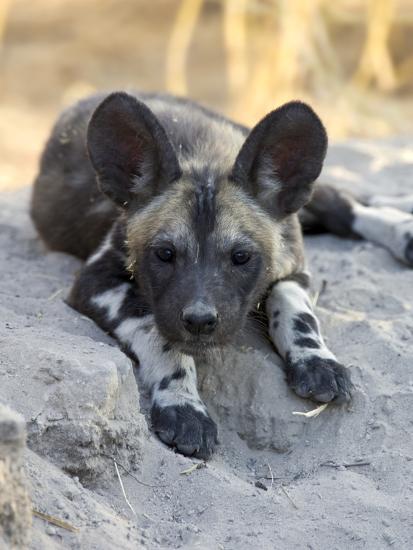 African Wild Dog (Lycaon Pictus) Six to Eight Week Old Pup, Okavango Delta, Botswana-Suzi Eszterhas/Minden Pictures-Photographic Print