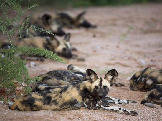 African Wild Dog, Lycaon Pictus, Venetia Limpopo Nature Reserve, South Africa, Africa-Steve & Ann Toon-Photographic Print