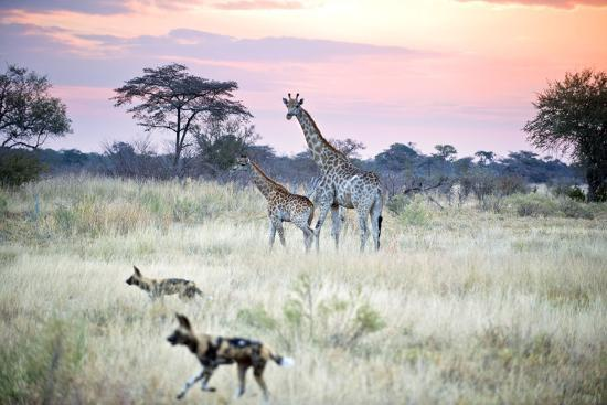 African Wild Dog Passing Giraffe Mother and Calf--Photographic Print