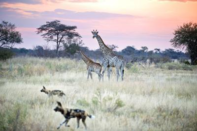 African Wild Dog Passing Giraffe Mother and Calf