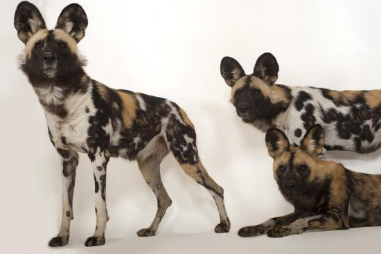 African Wild Dogs, Lycaon Pictus, at the Omaha Zoo-Joel Sartore-Photographic Print